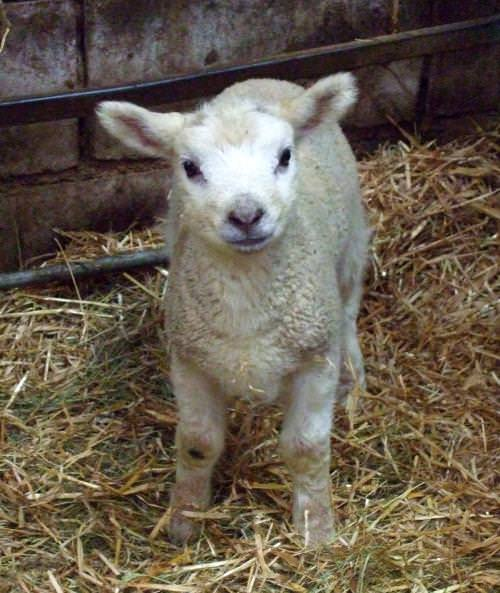 Five ways to follow up a lambing visit