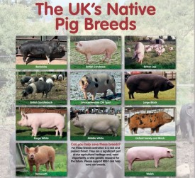 Rare Native Pig Breed Poster