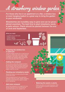 Grow strawberries in a window garden