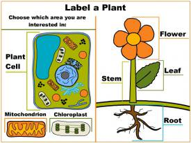 Label Plant Cells