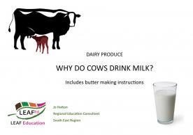 Why do cows drink milk?